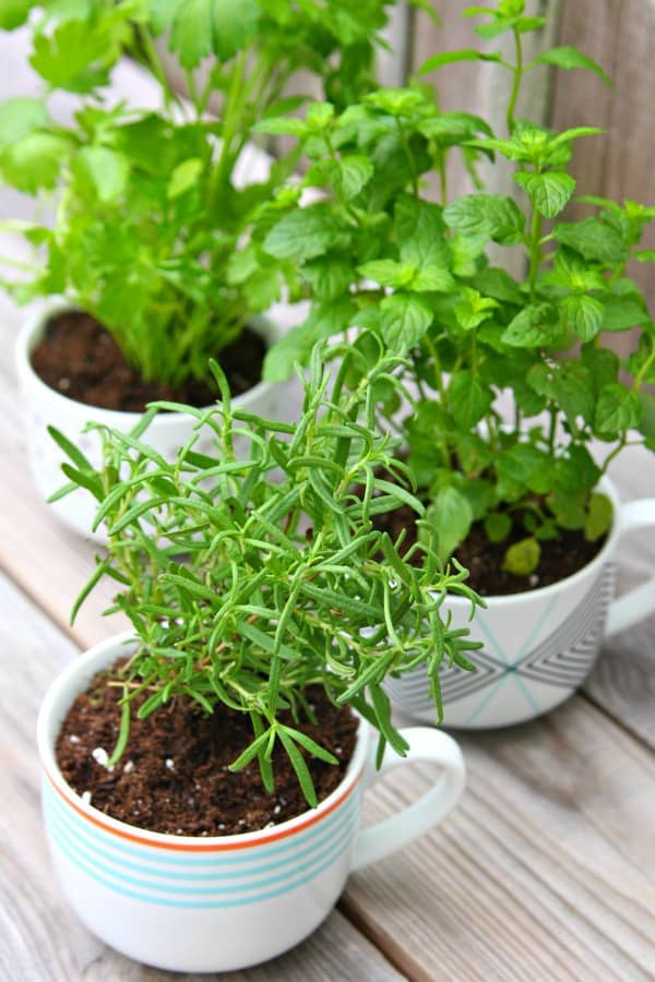 coffee-mug-herb-garden